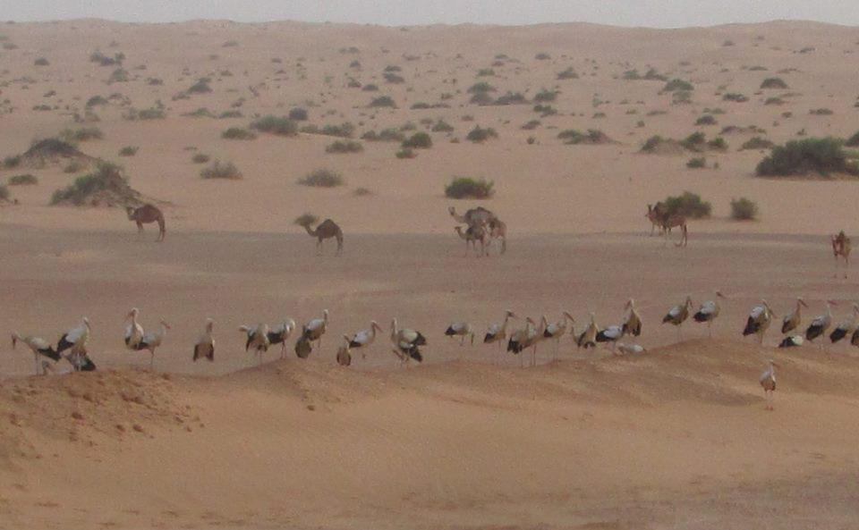 Camellos Cigus