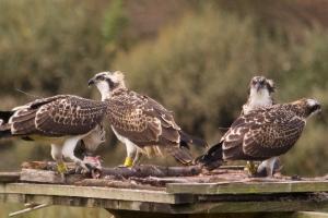 Prácticas en el proyecto de reintroducción de águila pescadora en Urdaibai. Verano 2017