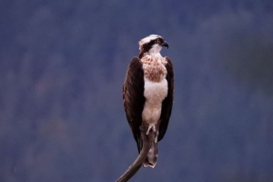 Don´t miss it! The osprey wintering in Urdaibai
