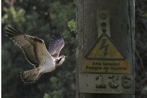 Muere electrocutada U11 una de las águilas pescadoras de Urdaibai