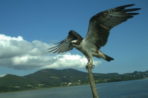 Roy is back! With him he brings the hope of breeding osprey in Urdaibai